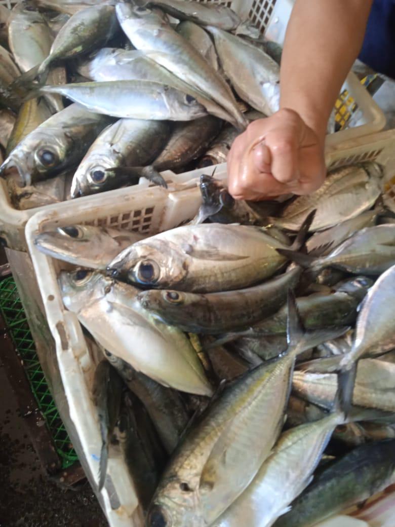 Ikan Mata Belo